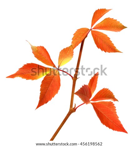 Autumn branch of grapes leaves. Parthenocissus quinquefolia foliage. Isolated on white background. Selective focus. - stock photo