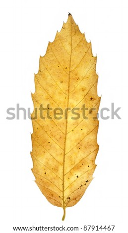 Autumn chestnut leaf on white background