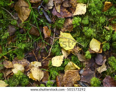 Autumn colored birch leaves on green moss. Natural background.