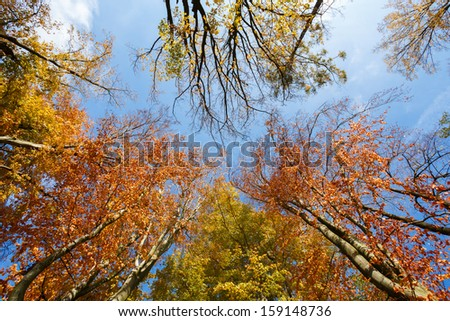autumn colored trees on blue sky, view from ground to top