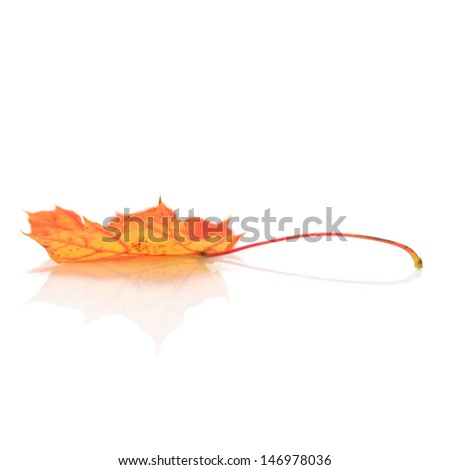 Autumn colorful leaf of maple isolated on white.  - stock photo