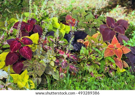 Autumn colorful leaves plants - Coleus and Hypoestes in botanical garden