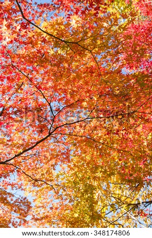 Autumn colorful maple leaves