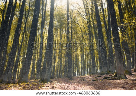 Autumn colors beech tree forest with fascinating path in daylight