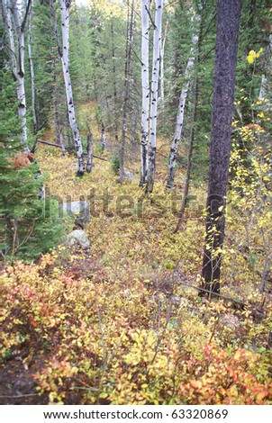 Autumn colors in mixed conifer and hardwood forest, Grand Teton National Park,Wyoming