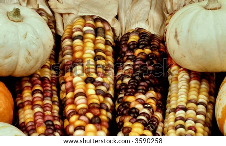Autumn corn and gourds. - stock photo