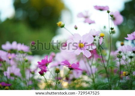 https://thumb9.shutterstock.com/display_pic_with_logo/167494286/729547525/stock-photo-autumn-cosmos-in-a-park-729547525.jpg