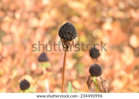 Autumn Dried Flower in the Garden - stock photo