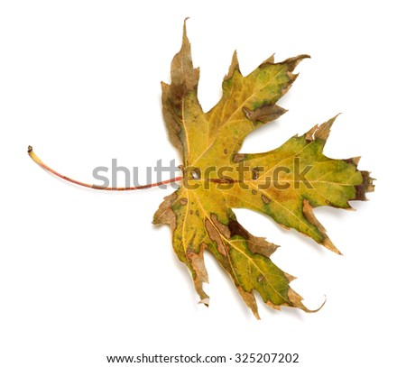Autumn dry leaf. Isolated on white background - stock photo