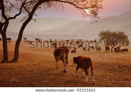 Autumn evening and cattle pastures - stock photo