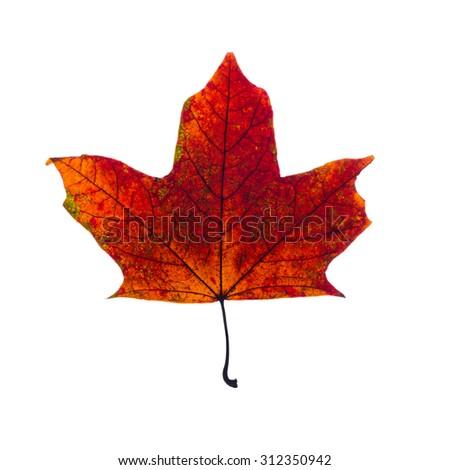 autumn fallen maple leaf isolated on white background - stock photo