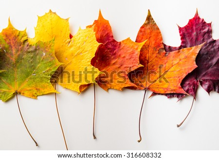 autumn fallen maple leaves isolated on white background - stock photo