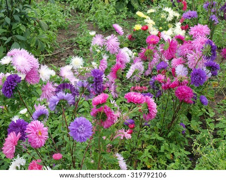 Autumn flowers asters in different colors are growing in garden. - stock photo