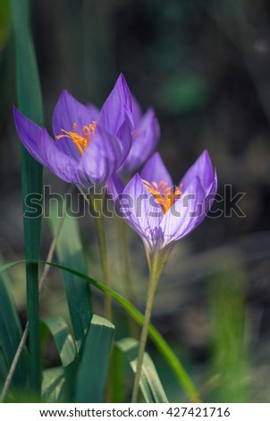 Autumn flowers - Colchicum autumnale, commonly known as autumn crocus, meadow saffron or naked lady - stock photo