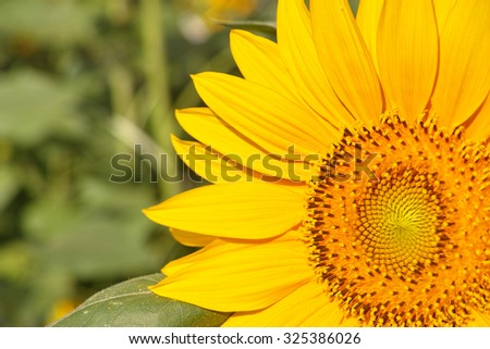 Autumn flowers series, close up of beautiful sunflower. - stock photo