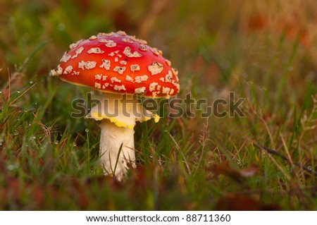 autumn flyagaric in the morning - stock photo