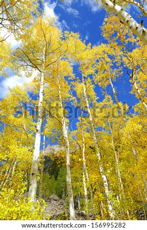 Autumn Foliage: Aspen Trees in Fall Colors - stock photo
