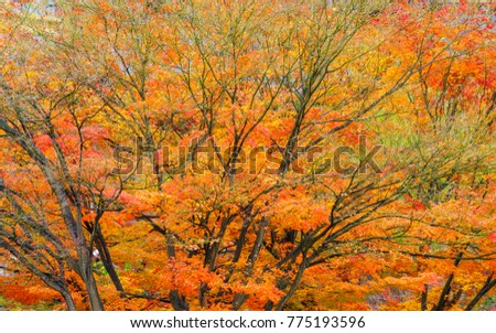 Autumn foliage colorful Japanese maple tree (Acer Palmatum) or Momiji in Japan.