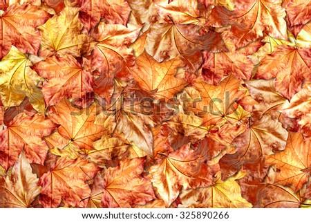 Autumn foliage. Golden Autumn. - stock photo