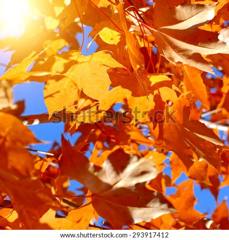 Autumn Foliage with Bright Leaves on the Tree Closeup - stock photo