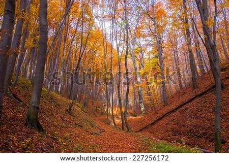 Autumn Forest at Bakony, Hungary - stock photo