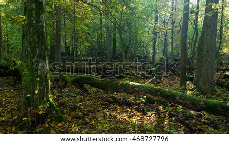 Autumn forest landscape with broken trees in morning,Bialowieza Forest,Poland,Europe