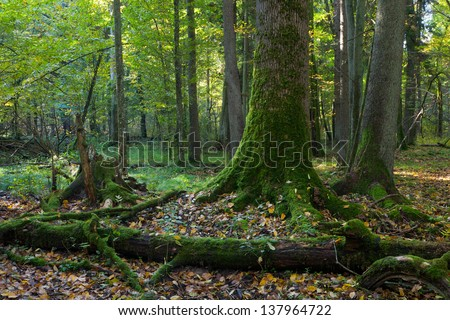 Autumn forest landscape with broken trees of Bialowieza National Park - stock photo