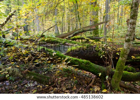 Autumn forest landscape with broken trees strictly nature protection area,Bialowieza Forest,Poland,Europe