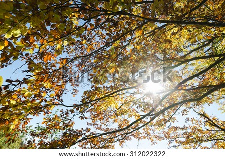 Autumn forest. Sun rays in the branches of a tree. Beech with yellow leaves in October - stock photo