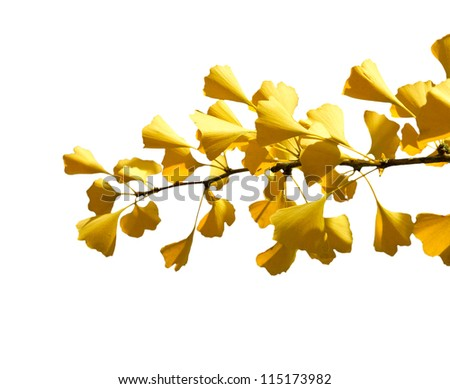 Autumn Ginkgo branch on a white background (isolated)