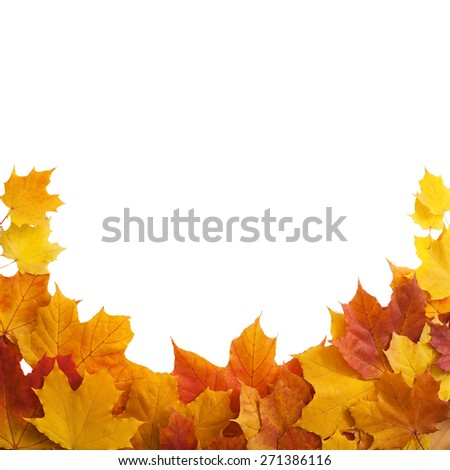 Autumn. golden leaves maple on white background.