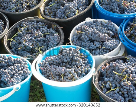 autumn grapes harvest ready to be squeezed - stock photo
