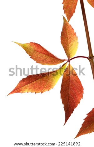 Autumn grapes leaves (Parthenocissus quinquefolia foliage). Isolated on white background. - stock photo
