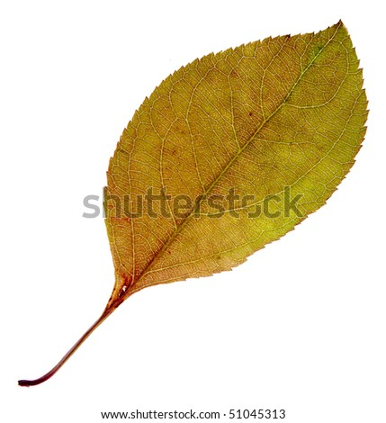 autumn green leaf with red stains isolated on a white