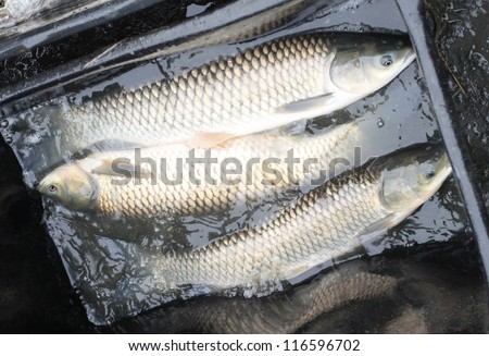 Autumn harvest of a White Amur (Grass Carp) from fishpond to christmas markets in Czech republic. In Central Europe ( Poland and Czech Republic ), fish is a traditional part of Christmas Eve dinner. - stock photo