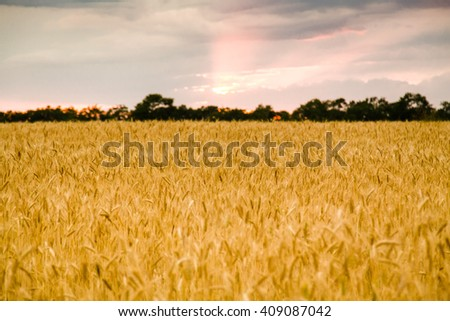 Autumn harvest wheat field