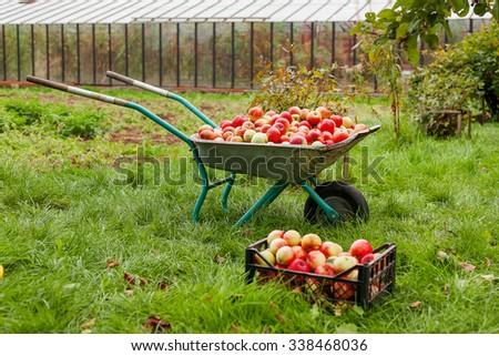 Autumn harvest - wheelbarrow and crate full of apples. - stock photo