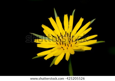 Autumn hawkbit wildflower in bloom in the late spring. - stock photo