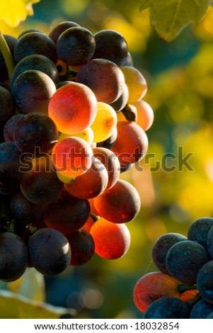 Autumn image: red grapes in sunset light. Piemonte, Italy. Shallow dof - stock photo