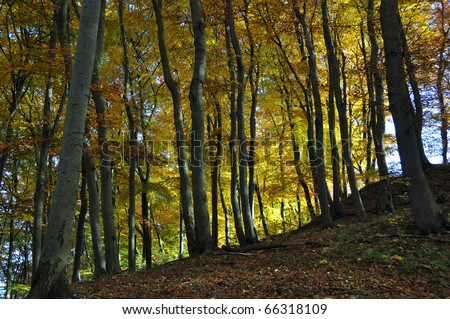 autumn in beech forest of Hainich National Park