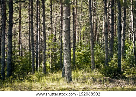 Autumn in the pine forest - stock photo