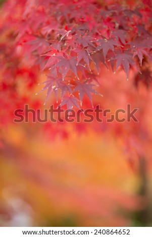 Autumn Japanese garden with maple in Japan