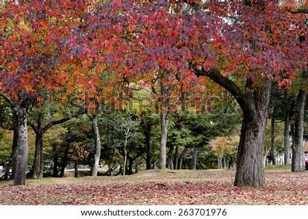 Autumn Japanese garden with maple in Nara, near Kyoto,Japan - stock photo