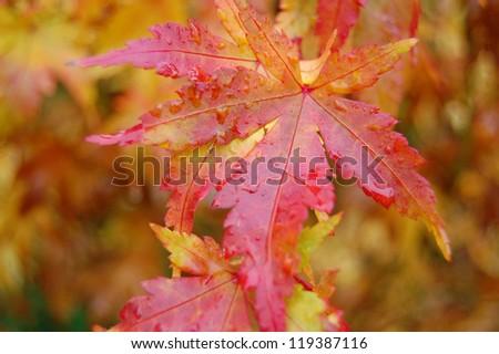 Autumn Japanese Maple Leaf - stock photo