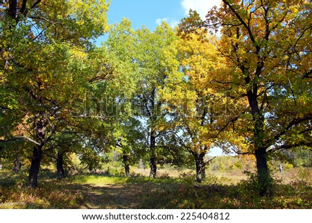 autumn landscape beautiful yellow leaves on the trees in the oak grove on a sunny day  - stock photo
