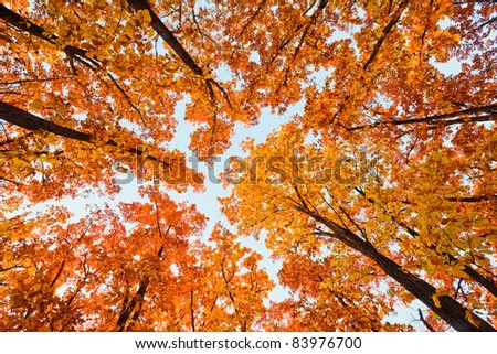 Autumn landscape. Bright colored oak leaves on the branches in the autumn forest. - stock photo