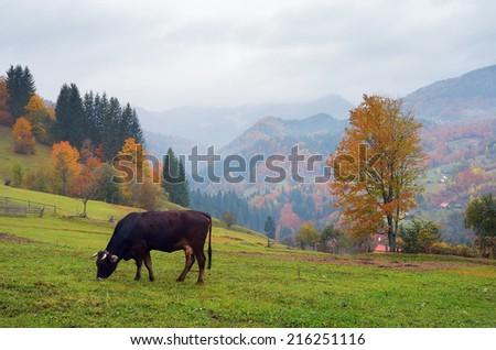 Autumn landscape. Foggy day in the mountainous village. Cow on pastbysche. Carpathians, Ukraine, Europe - stock photo