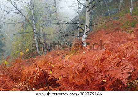 Autumn landscape in a birch forest with fog. Red leaves of a fern. Foggy day. Carpathians, Ukraine, Europe - stock photo
