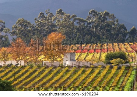 Autumn landscape of vineyards, Cape town area, South Africa