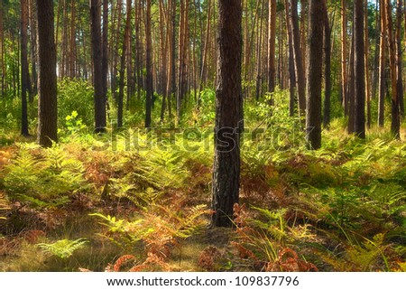 Autumn landscape. Pine forest and fern